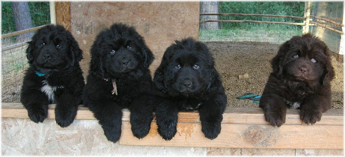 Newfie Puppies Wolfcreek Newfoundlands